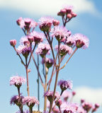 Purple flowers against blue sky closeup Royalty Free Stock Images