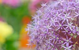 Purple flowers of Allium Stock Images