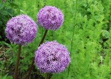 Purple flowers, Allium Giganteum Royalty Free Stock Images