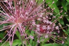 Purple flowers, Allium Giganteum Royalty Free Stock Photography
