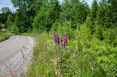 Purple flowers along a gravel road side Stock Photo