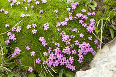 Purple Flowers in Alpine Moss Stock Photo