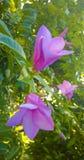 Purple flowers Apocynaceae. On tree Royalty Free Stock Photo