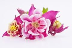 Purple flowers of Aquilegia vulgaris Stock Photos