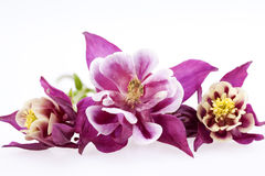 Purple flowers of Aquilegia vulgaris on white background Stock Photography