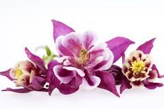 Purple flowers of Aquilegia vulgaris on white background Stock Photography