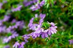 Purple flowers of aster dumosus Royalty Free Stock Image