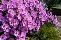 Purple flowers of asters in autumn Stock Images
