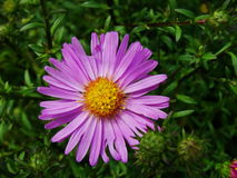 Purple Flowers Asters, Bush Family Flowers Cultivated In The Russian Garden In Late Summer. Royalty Free Stock Photo