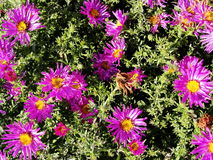 Purple flowers asters, Bush family flowers cultivated in the Russian garden in late summer. royalty free stock image