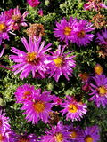 Purple flowers asters, Bush family flowers cultivated in the Russian garden in late summer. stock image