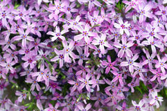 Purple flowers background Stock Image