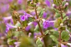 Purple flowers on a background of green leaves. Tiny pink flowers in spring royalty free stock photos