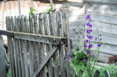 Purple flowers at background of old wooden fence. Village scene Stock Photos