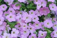 Purple flowers background, Purple petunias groups at garden stock photography