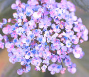 Purple flowers background Royalty Free Stock Images