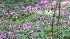 Purple flowers background stock video footage