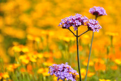 Purple flowers on a background of yellow flowers. Purple flowers lost in a field of yellow flowers Royalty Free Stock Photo
