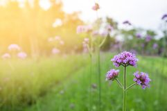 Purple flowers in the backyard Stock Photo