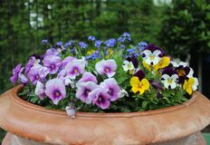 Purple flowers in a basket. At the garden royalty free stock photography