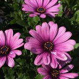 Purple flowers. Beautiful purple flowers shining in the sun Stock Photos