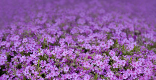 Purple flowers. Bed of small purple flowers Stock Photos