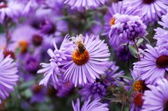 Purple flowers with bee. The violet flower in spring meadow Royalty Free Stock Photography