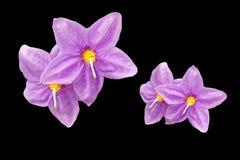 Purple flowers in black background stock image