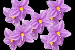 Purple flowers in black background royalty free stock photography