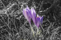 Purple flowers. With black&white background Royalty Free Stock Image