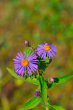 Purple flowers in bloom. With green nature background Royalty Free Stock Photography