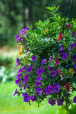 Purple flowers in bloom. Purple flowers in hanging basket blooming outdoors with lawn in background Royalty Free Stock Image