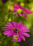 Purple flowers in bloom. Closeup of purple flowers in bloom with leafy green background Royalty Free Stock Photos