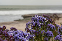 Purple Flowers Bloom As Waves Crash in the Distance Stock Photography