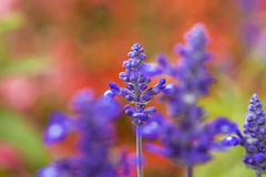 Purple flowers in bloom on a blurred red garden background Stock Photos