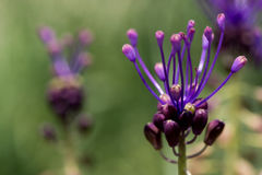 Purple flowers in bloom. Closeup of purple flowers in bloom with a green background Royalty Free Stock Photo