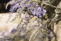 Purple flowers in bloom on a decoration outdoor plant Royalty Free Stock Photography