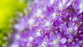 Purple flowers in bloom on a green garden blurred background Stock Image