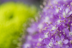 Purple flowers in bloom on a green garden blurred background Royalty Free Stock Photos