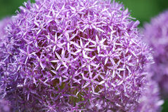 Purple Flowers in Bloom. Lavender purple allium flowers in a garden blooming Stock Image