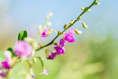 Purple flowers bloom with morning light.and blue sky royalty free stock photos