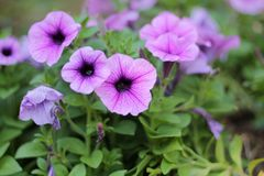 Purple flowers bloom in the morning stock photography
