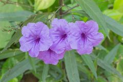 Purple flowers bloom in the morning Royalty Free Stock Images