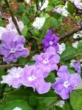 Purple flowers blooming. The blooming of beautiful purple flowers, brunfelsia australis, on tree with green leaves royalty free stock image