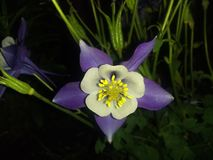 Purple flower close up black drop stock photos