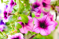 Purple flowers Stock Images