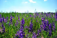 Purple flowers blooming on glade, bright blue cloudy sky. Background royalty free stock image