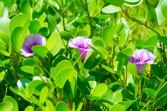 Purple flowers is blooming and green leaves. Nature Royalty Free Stock Photo