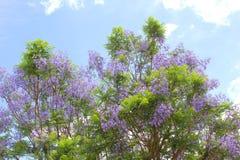 Purple flowers of a Jacaranda tree in a blue sky. Purple flowers of a blooming Jacaranda tree (Jacaranda mimosifolia) in a blue sky in springtime in Australia Stock Photography
