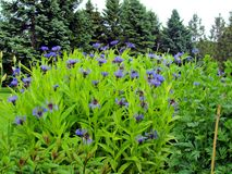 Purple Flowers Blooming. This is patch of flowers blooming in a park on a summer day Royalty Free Stock Photography